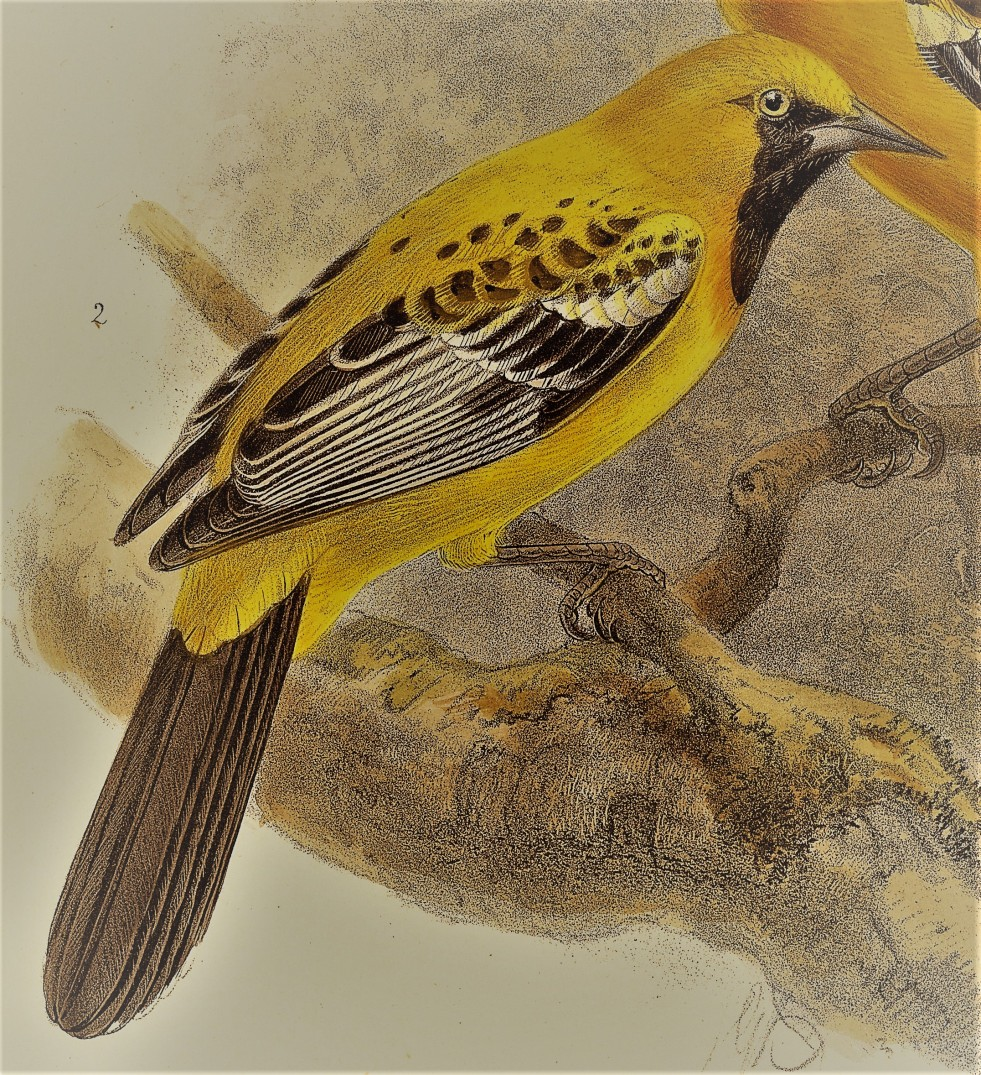 Orange Oriole - painted representation